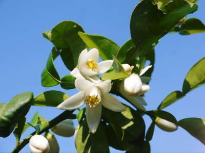 香り高き柚子 令和元年の出荷を本日よりスタート!大人気の「冬至用柚子」のご予約はお急ぎ下さい!!_a0254656_18070867.jpg