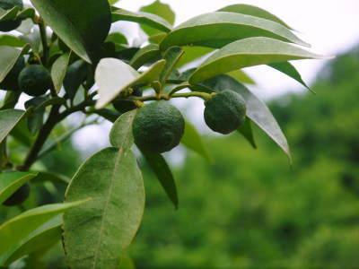 香り高き柚子 令和元年の出荷を本日よりスタート!大人気の「冬至用柚子」のご予約はお急ぎ下さい!!_a0254656_18085664.jpg