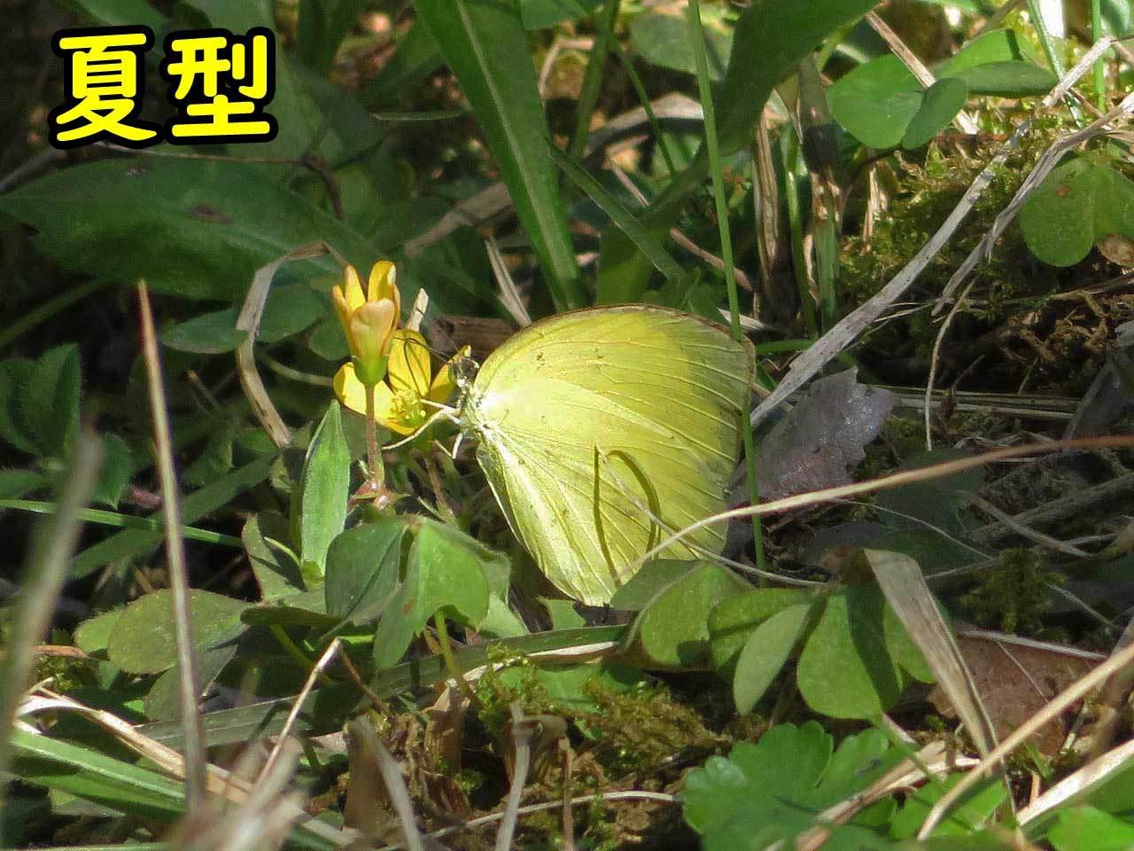 初冬にキタキチョウ夏型_e0253104_17584090.jpg