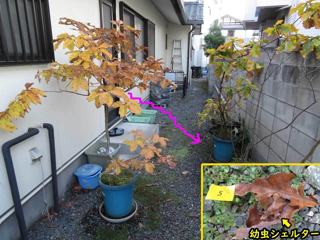 ミヤマセセリ幼虫が越冬のため落幼_e0253104_18263335.jpg