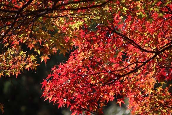 紅葉が始まった 千束の吟松寺_e0048413_20201065.jpg
