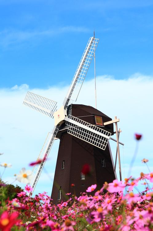秋色 風車の丘のコスモス_f0209122_10140976.jpg