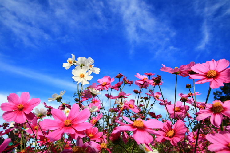 秋色 風車の丘のコスモス_f0209122_10142806.jpg