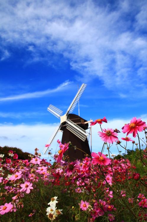秋色 風車の丘のコスモス_f0209122_10144349.jpg