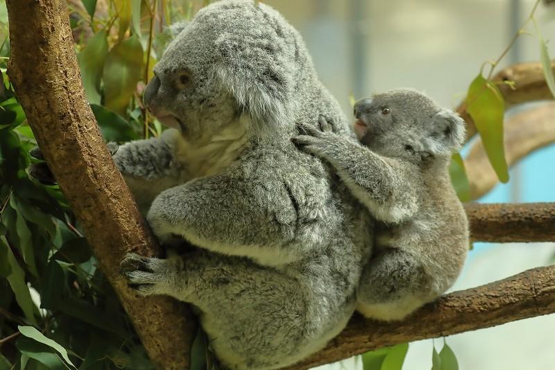 僕はコアラの赤ちゃん「ニシチ」、もうママの袋の中には戻りませ