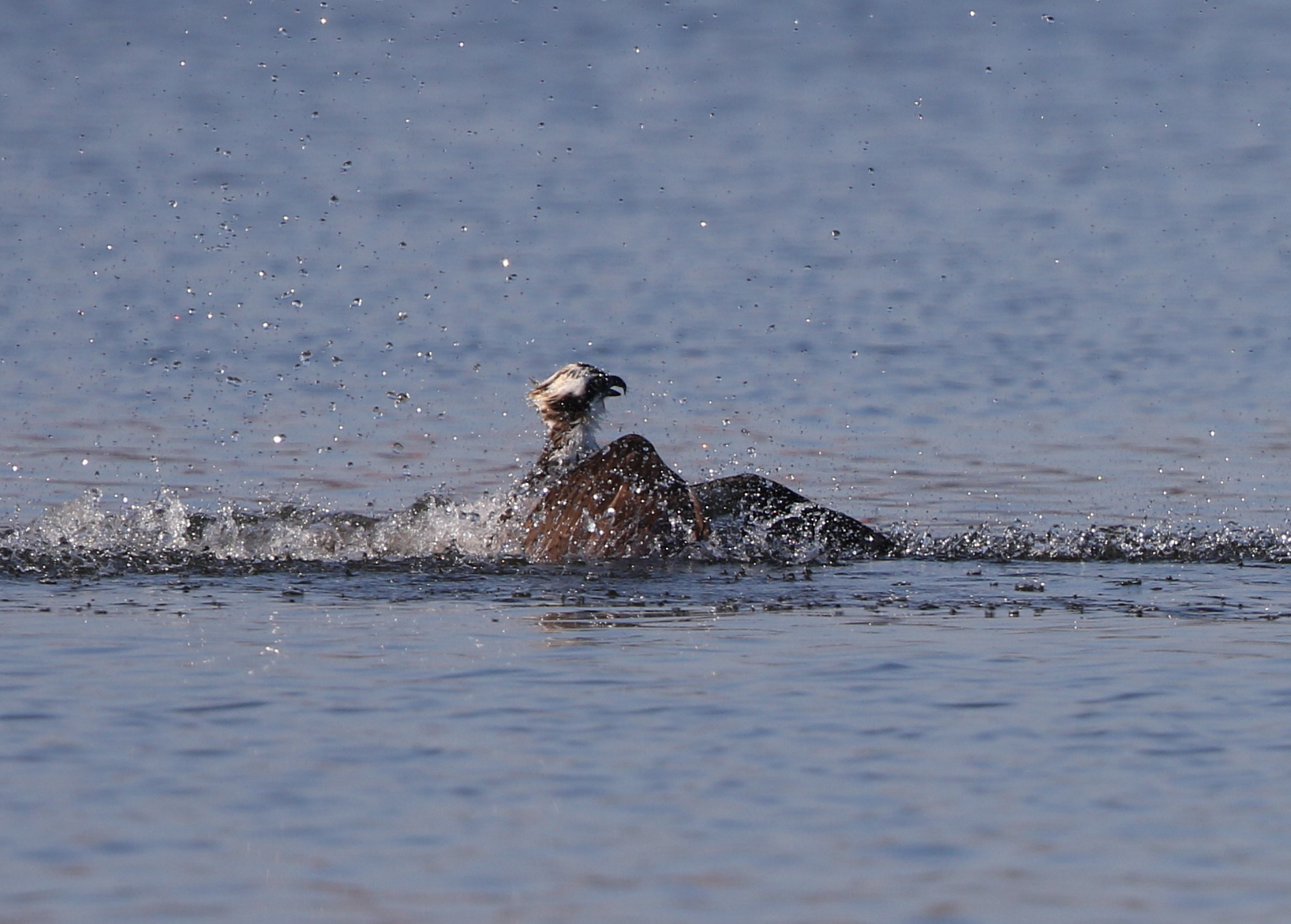MFの沼でミサゴの狩りを その15_f0239515_21501477.jpg