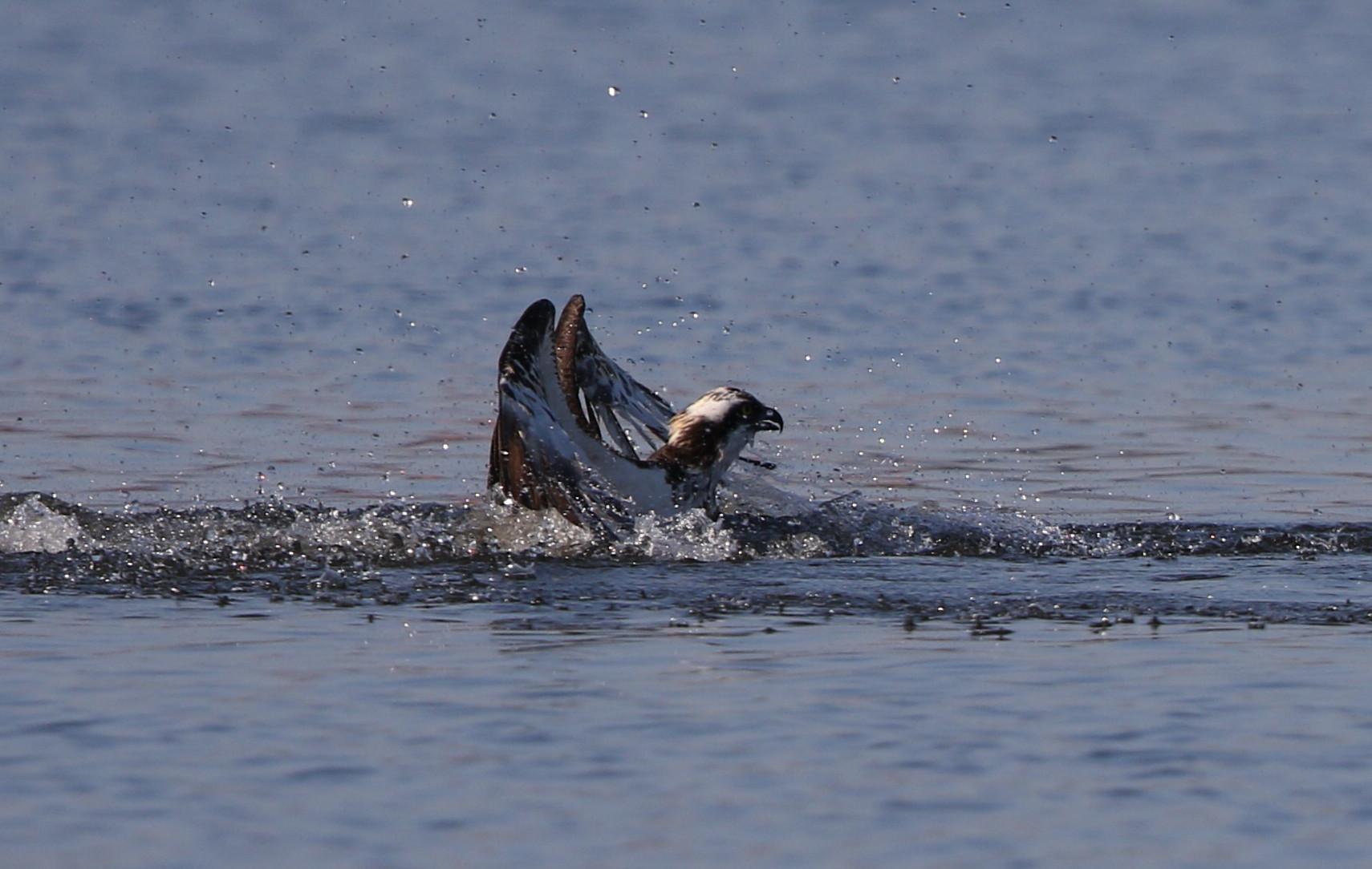 MFの沼でミサゴの狩りを その15_f0239515_21512827.jpg