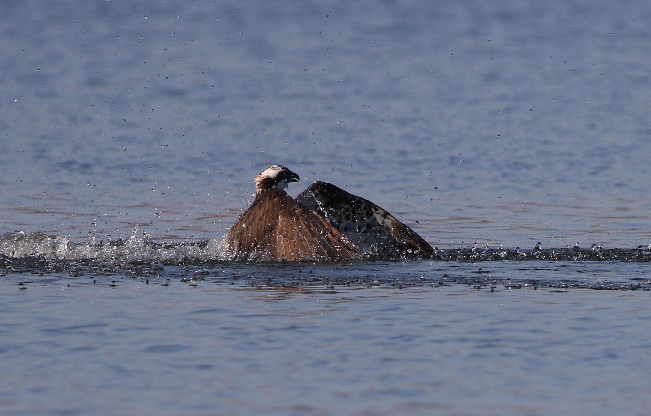 MFの沼でミサゴの狩りを その15_f0239515_2152068.jpg
