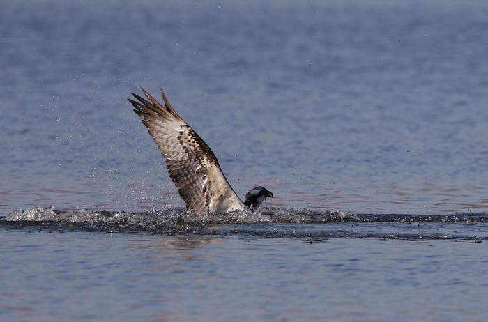 MFの沼でミサゴの狩りを その15_f0239515_21523876.jpg