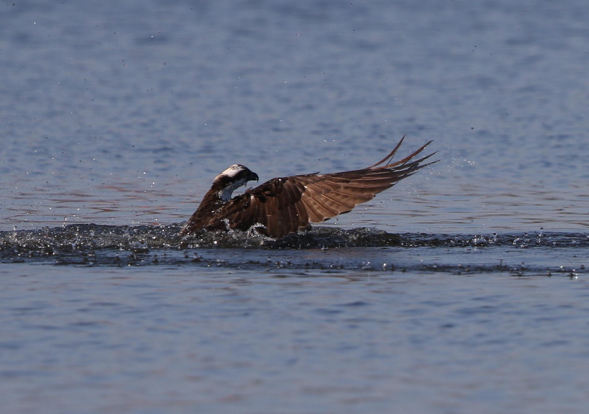 MFの沼でミサゴの狩りを その15_f0239515_21525712.jpg