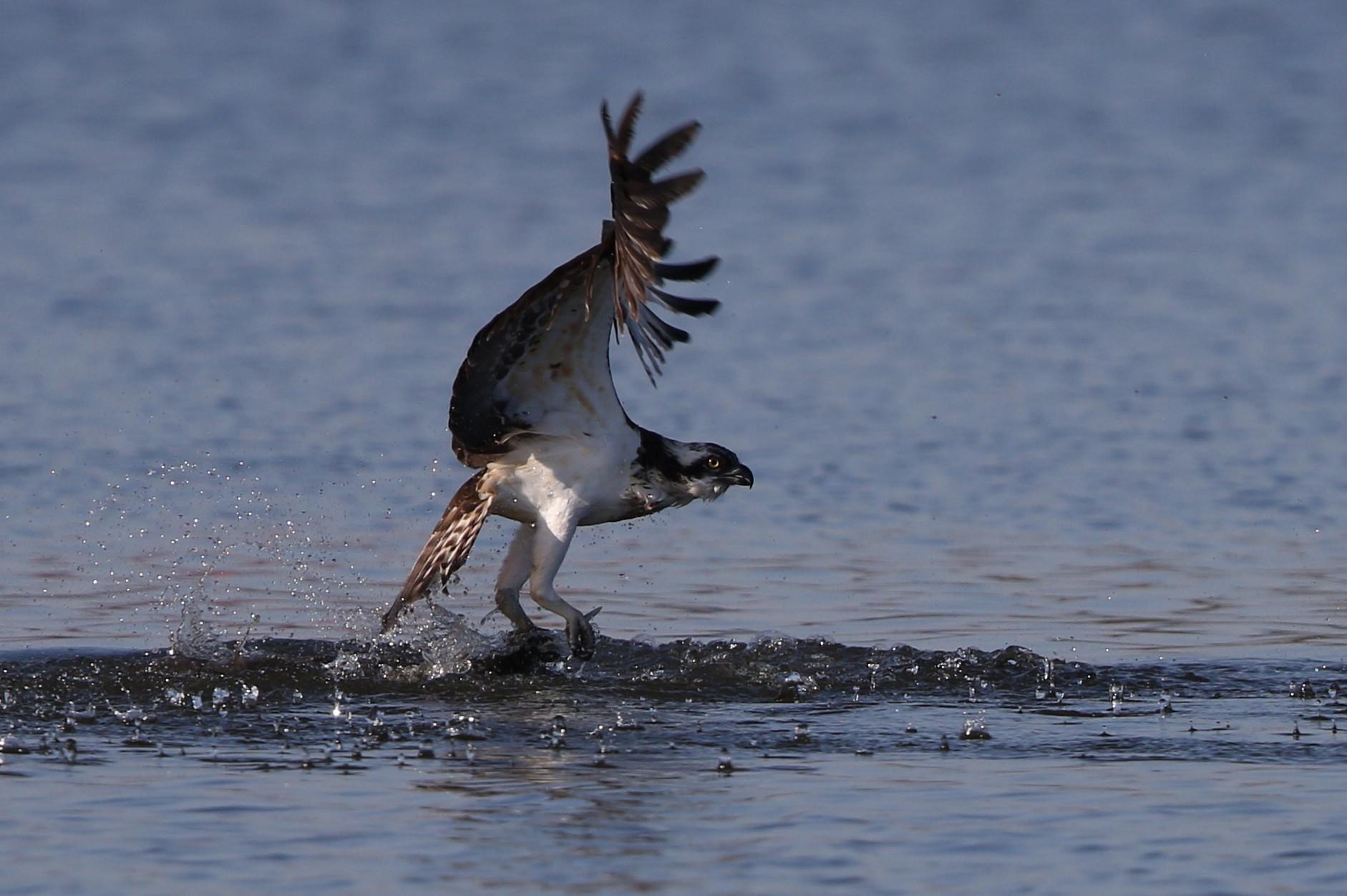 MFの沼でミサゴの狩りを その15_f0239515_21533764.jpg