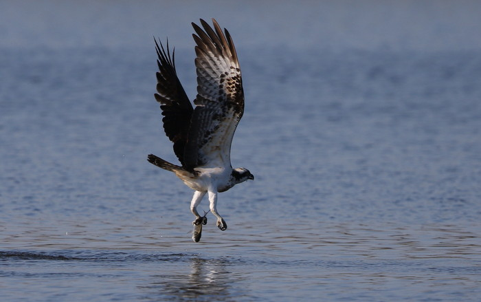 MFの沼でミサゴの狩りを その15_f0239515_21541798.jpg