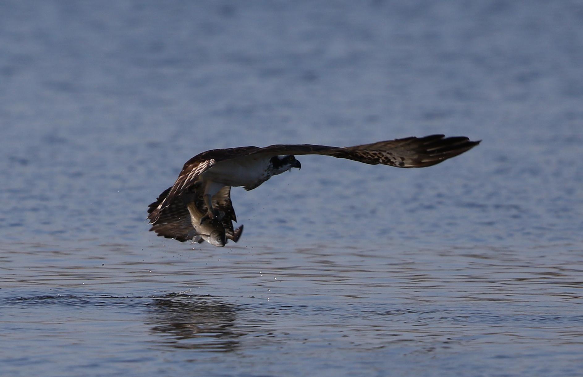 MFの沼でミサゴの狩りを その15_f0239515_21543329.jpg
