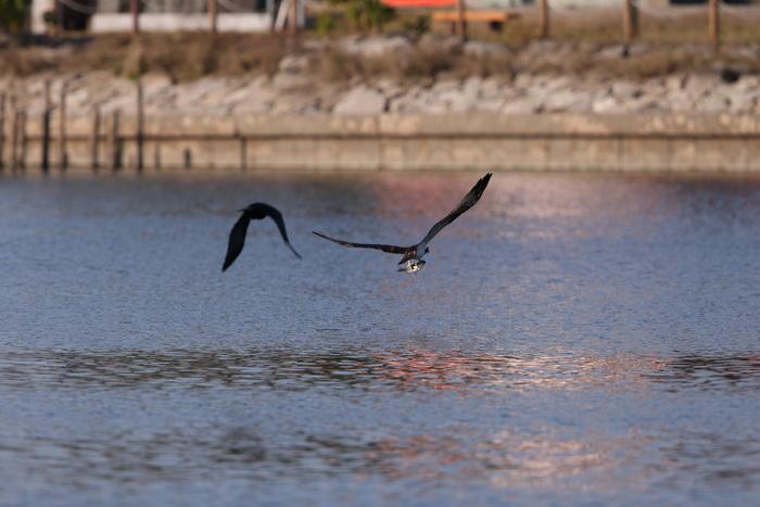 MFの沼でミサゴの狩りを その15_f0239515_2155664.jpg