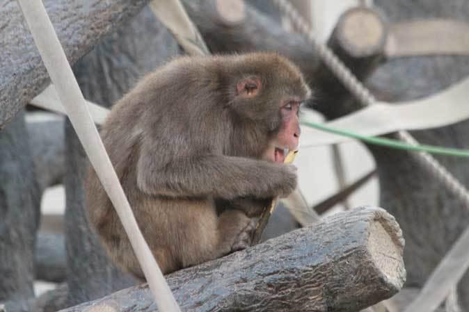 東山動植物園~ツシマヤマネコとニホンザル(December 2018)_b0355317_21085453.jpg