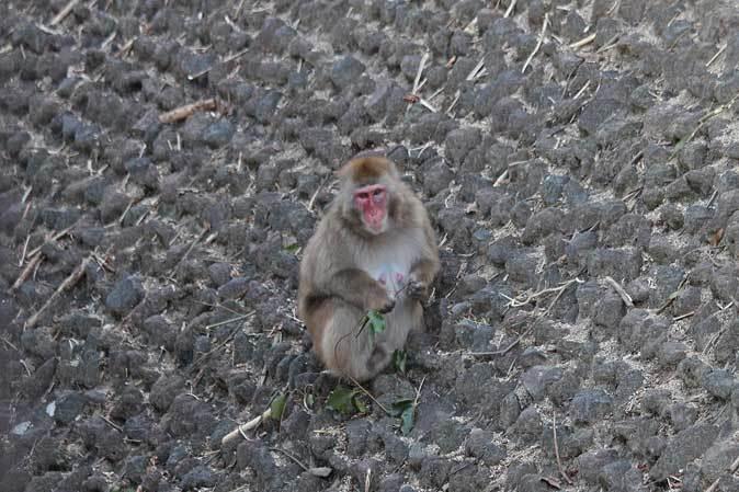 東山動植物園~ツシマヤマネコとニホンザル(December 2018)_b0355317_21214013.jpg