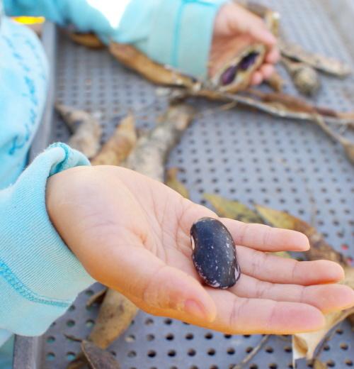 紫花豆の殻むき_c0110869_05524979.jpg