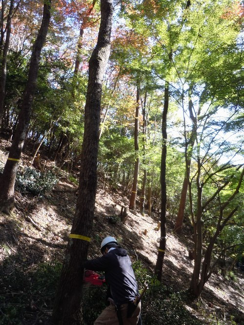 高さ30mのクヌギを伐る_b0102572_10435397.jpg