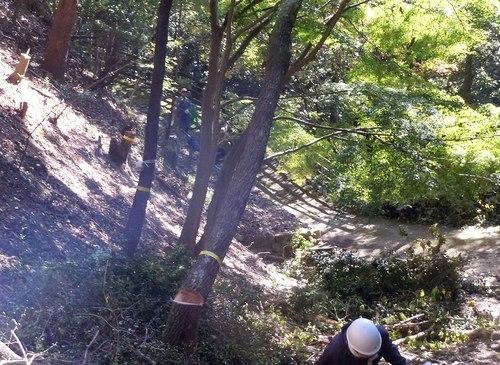 高さ30mのクヌギを伐る_b0102572_10454080.jpg