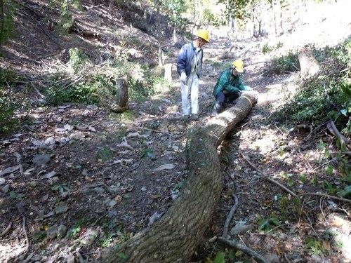 高さ30mのクヌギを伐る_b0102572_10464003.jpg