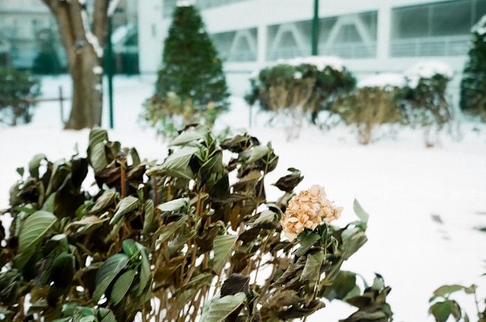 雪景色の枯れた紫陽花と最後の開花状態_c0182775_1612218.jpg