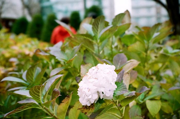 雪景色の枯れた紫陽花と最後の開花状態_c0182775_1616338.jpg