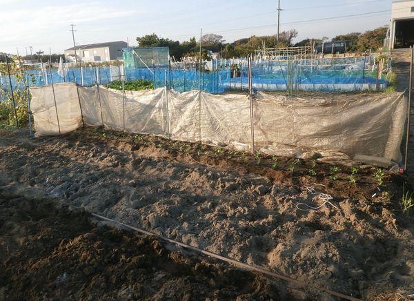 エンドウ豆の防風ネット張り_f0018078_17143179.jpg