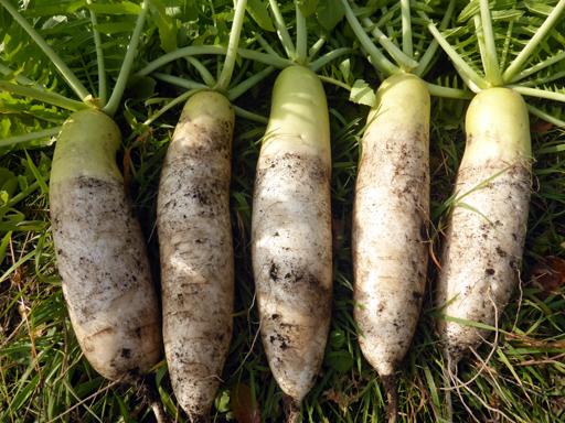 自然農畑 11月上旬~中旬_d0366590_15505705.jpg