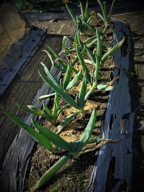 北摂の11月の家庭菜園_f0229190_15052071.jpg