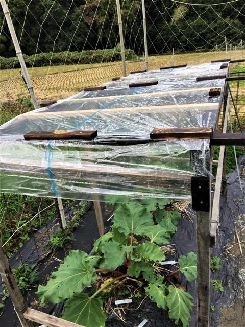 北摂の11月の家庭菜園_f0229190_15065495.jpg