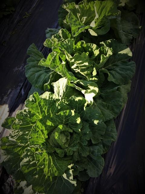 北摂の11月の家庭菜園_f0229190_15123717.jpg