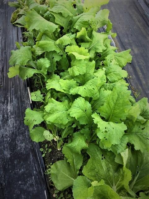 北摂の11月の家庭菜園_f0229190_15201616.jpg