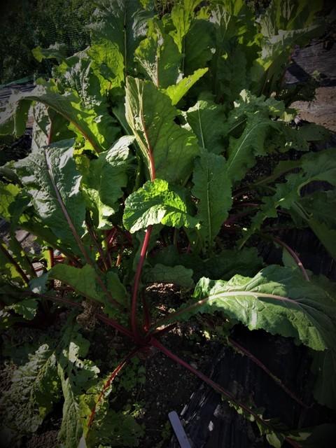北摂の11月の家庭菜園_f0229190_15212114.jpg