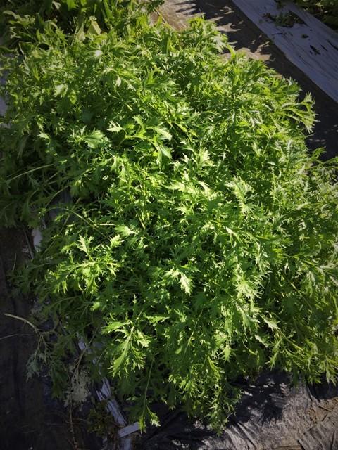 北摂の11月の家庭菜園_f0229190_15252889.jpg
