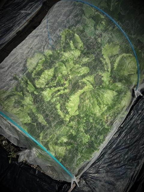 北摂の11月の家庭菜園_f0229190_15280177.jpg