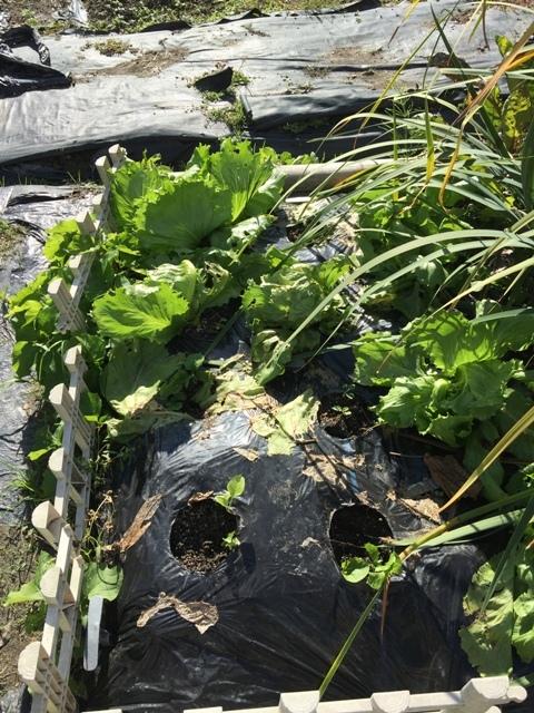 北摂の11月の家庭菜園_f0229190_15281940.jpg