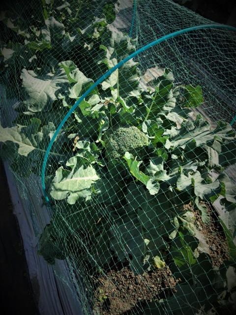 北摂の11月の家庭菜園_f0229190_15293804.jpg
