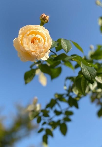 庭の秋薔薇_d0025294_17263789.jpg