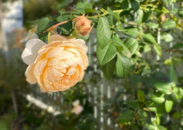 庭の秋薔薇_d0025294_17265300.jpg