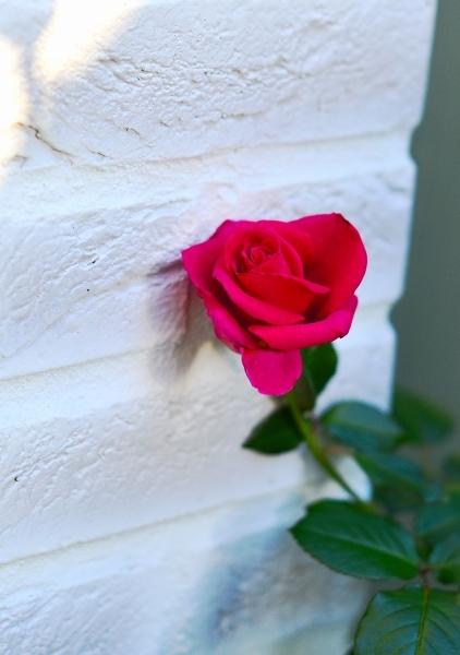 庭の秋薔薇_d0025294_17280880.jpg