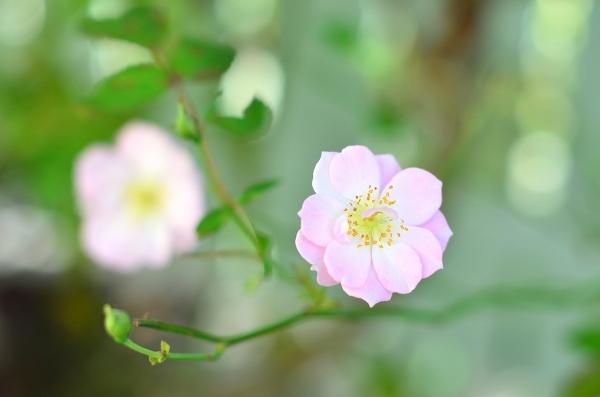 庭の秋薔薇_d0025294_17290475.jpg