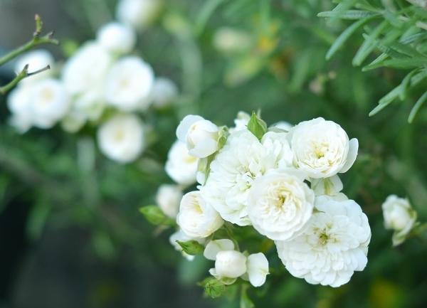 庭の秋薔薇_d0025294_17291736.jpg