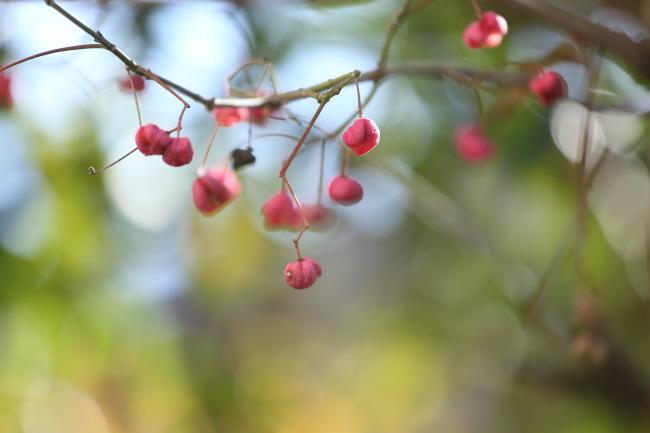 秋の贈り物① マユミ _a0357206_19125123.jpg