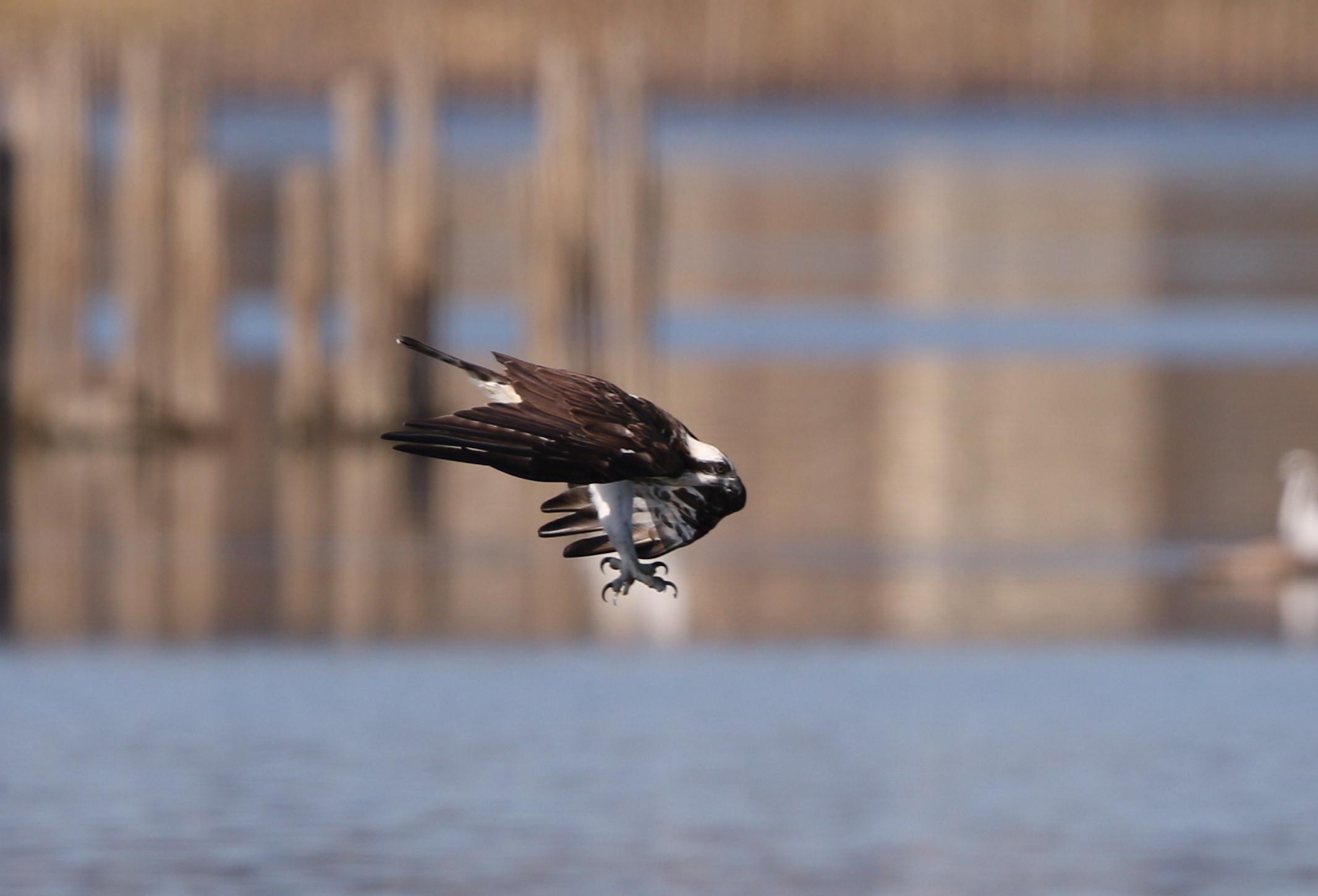 MFの沼でミサゴの狩りを その16_f0239515_15203360.jpg