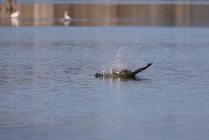 MFの沼でミサゴの狩りを その16_f0239515_152164.jpg