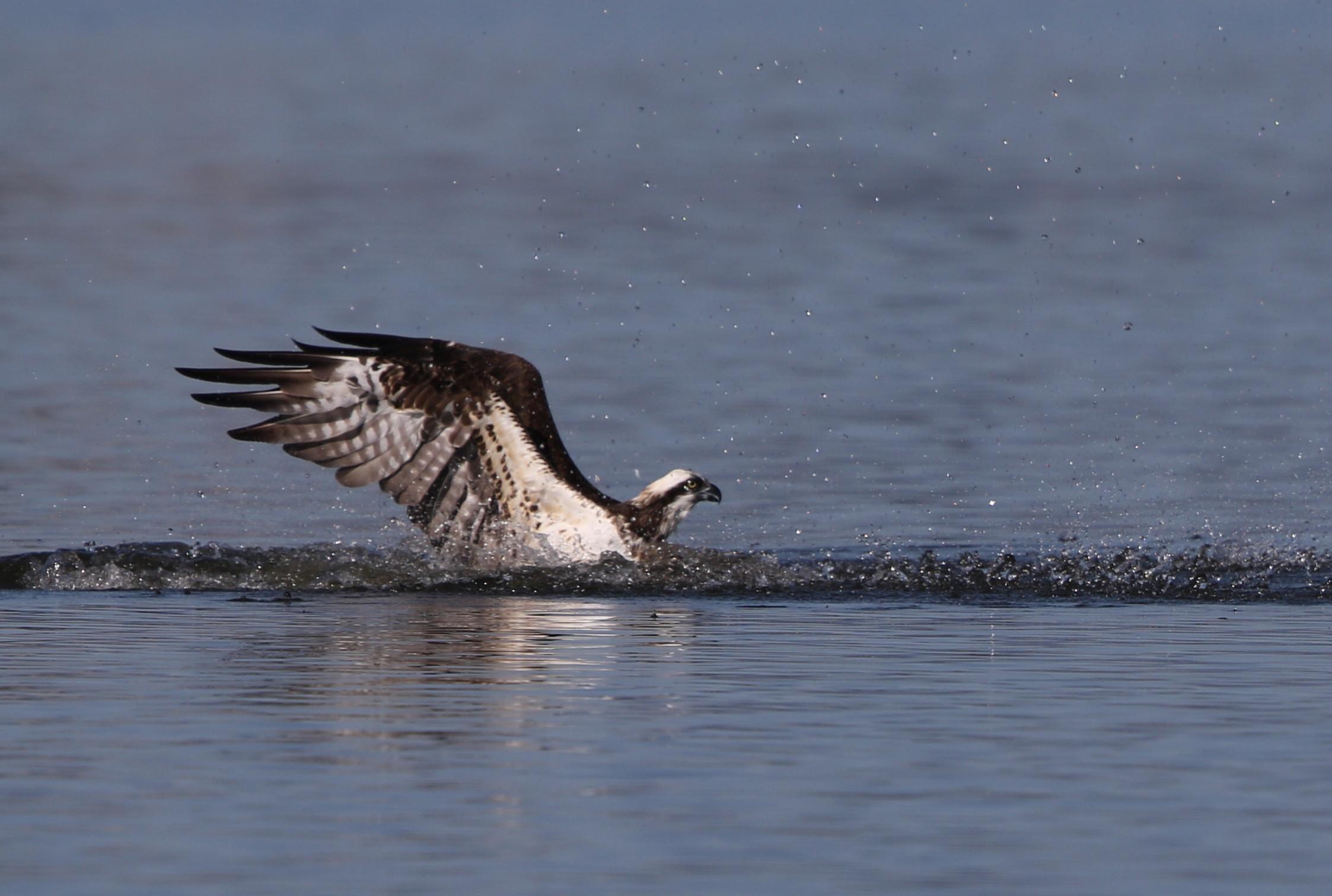 MFの沼でミサゴの狩りを その16_f0239515_15224693.jpg