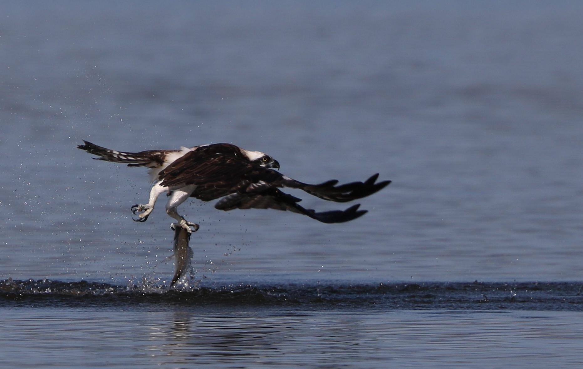 MFの沼でミサゴの狩りを その16_f0239515_1523152.jpg