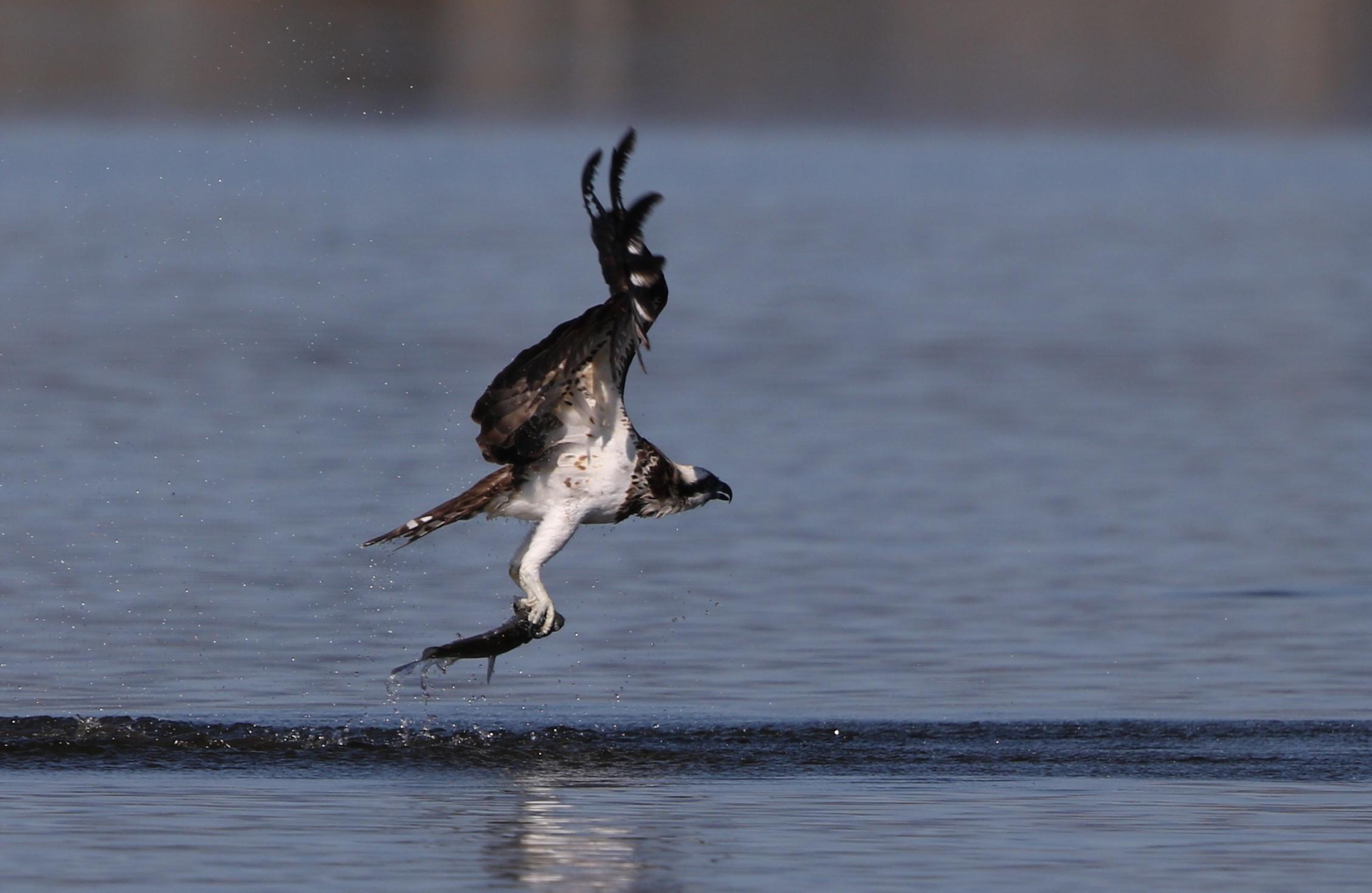 MFの沼でミサゴの狩りを その16_f0239515_15233433.jpg