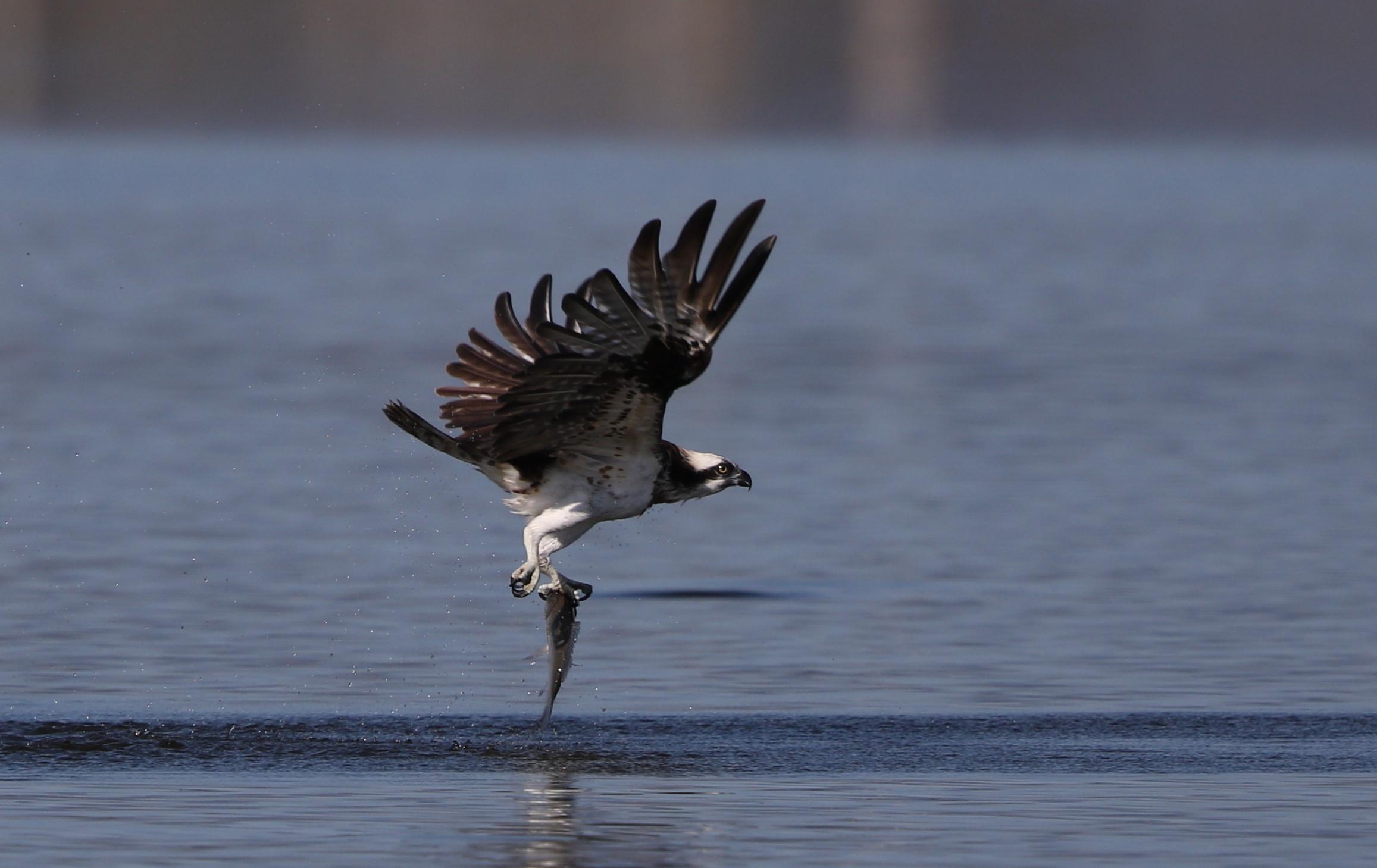 MFの沼でミサゴの狩りを その16_f0239515_15242611.jpg