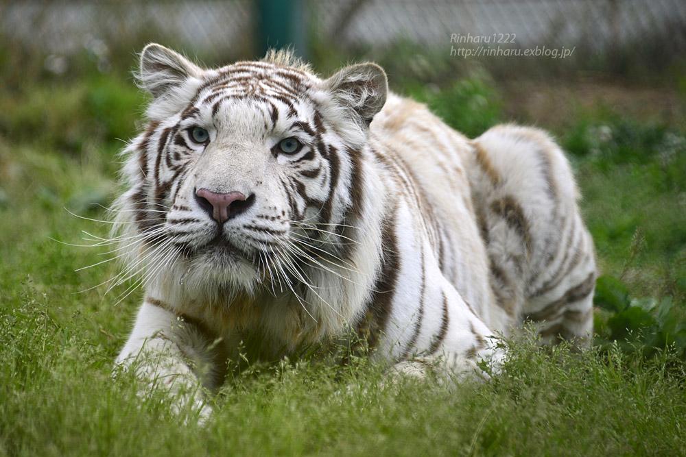 2017.6.11 岩手サファリパーク☆ホワイトタイガーのマハロ【White tiger】_f0250322_20493032.jpg